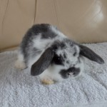 Butterfly Blue Mini Lop Buck For Sale
