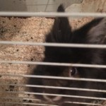 Black Bunny Named Chester