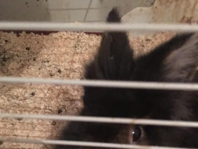 Black Bunny Named Chester