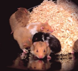 Adult Syrian Hamsters For Adoption