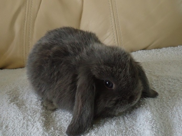 Blue Mini Lop Buck For Sale