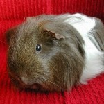 Beautiful Male Guinea Pig