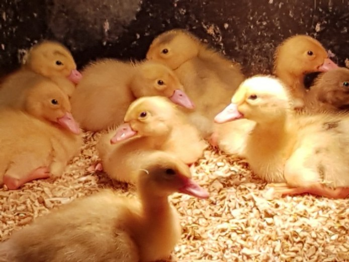 4 Week Old Of Heat Female Ducklings