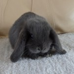 Blue Mini Lop Doe For Sale