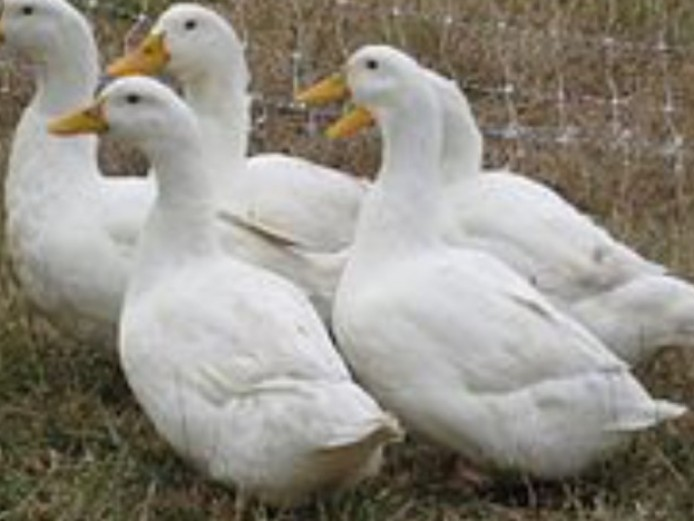 White Aylesbury Ducks