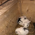Dwarf Lop Rabbits For Sale