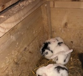 Dwarf Lop Rabbits For Sale