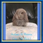Mini Lop Babies Ready To Reserve