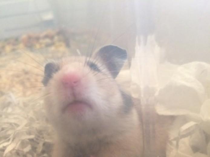 Baby Syrain Hamsters