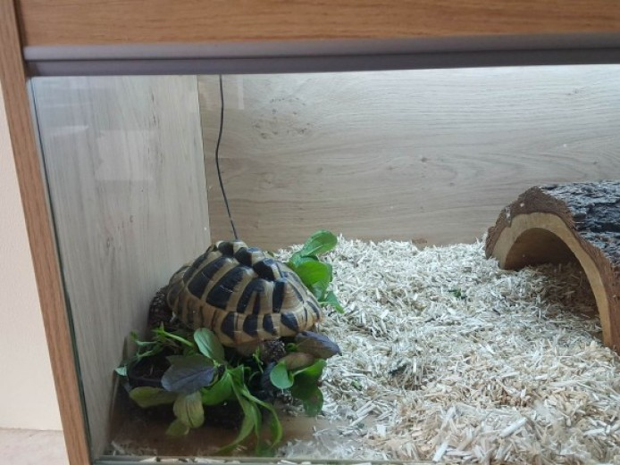 5 Year Old Marginated Tortoise