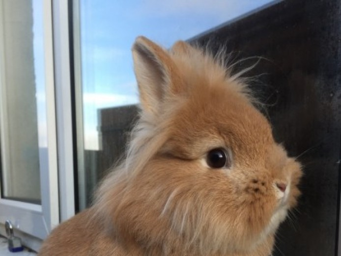 Gorgeous Lionheads For Sale