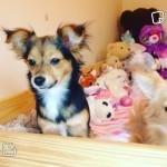 Jackwawa Puppies Jack Russell X Chihuahua