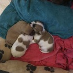 Mix Breed Puppies for Sale