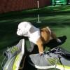 Pets  - cute English Bulldog puppies for adoption