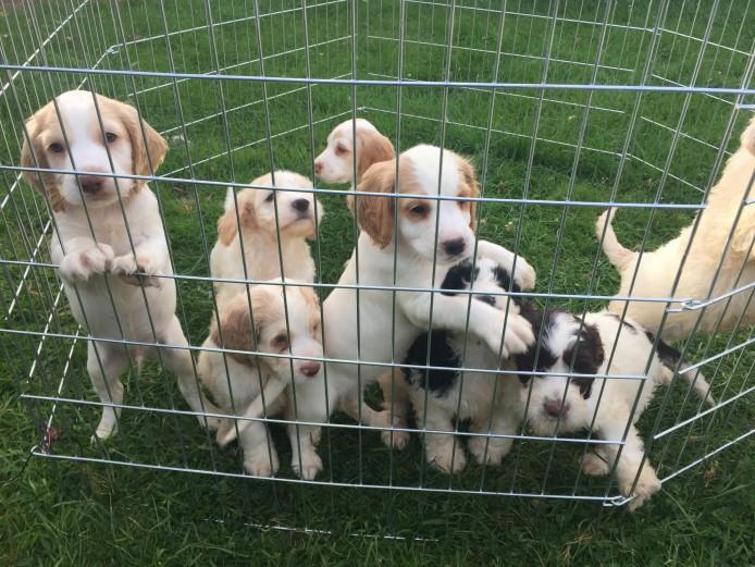 Gorgeous Cockapoo puppys