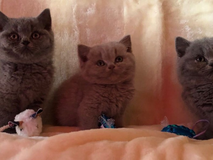 2 Stunning British Short Hair Kittens