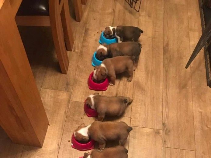 Quality English Bulldogs For Sale