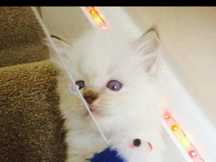 Full pedigree kittens
