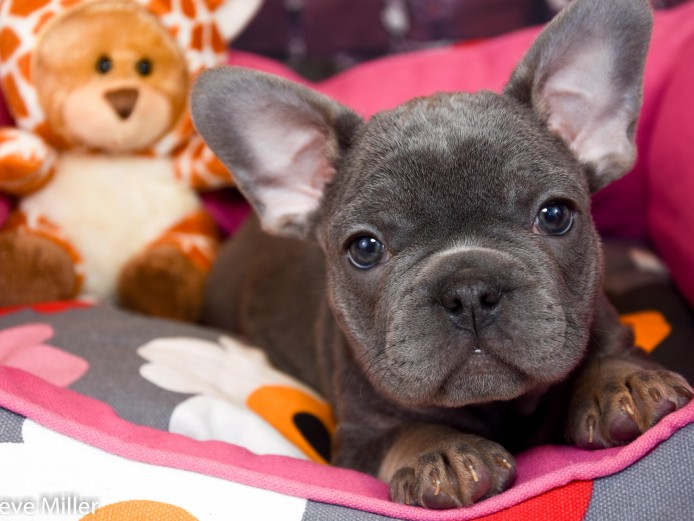 4 GORG KC FRENCH BULLDOG PUPS 1 FEMALE 3 MALE