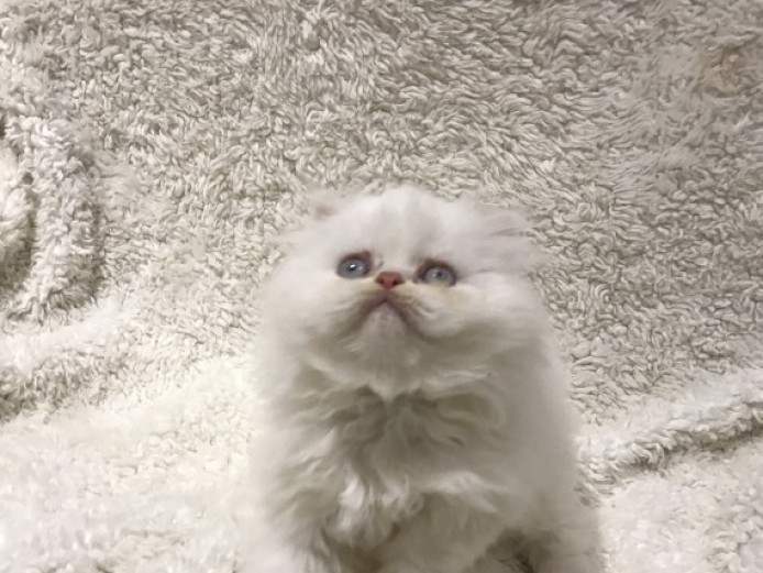 Adorable White Persian kittens for Adoption