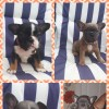 Pets for Sale - French bulldog puppies