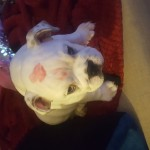 English bulldog Frank for sale. Kc reg. 5 generations pedigree certificate. Perfect puppy.