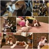 Pets  - Fully Vaccinated 1st and 2nd Tricolor beagle puppies ready now