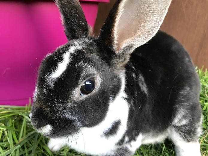FABULOUS MINI REX DOES VERY FRIENDLY