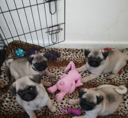 Pets for Sale - Kc registered