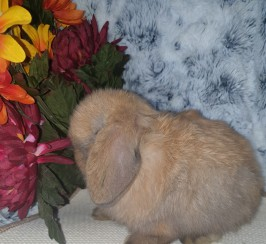 Sooty fawn buck 8wks pedigree mini lop
