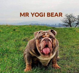 Pets  - MR YOGI BEAR AVAILABLE FOR STUD