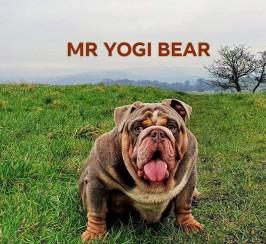 MR YOGI BEAR AVAILABLE FOR STUD