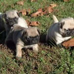 Apricot And Fawn Kc Reg Pug Puppies For Sale