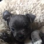 Stunning blue chihuahua boy