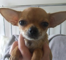 for sale tiny 13 wk girl chihuahua