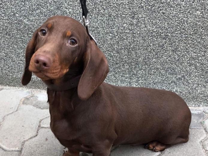 Chocolate dachshund sale