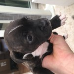 Staffordshire Bull Terrier Puppies, 6 weeks old, ONLY 4 GIRLS LEFT
