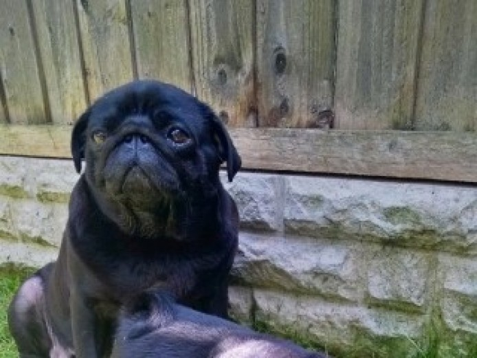 ready now fully akc Pug puppies