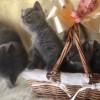 Pets for Sale - 3 Lovely British Short Hair Kittens