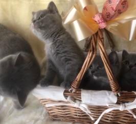 3 Lovely British Short Hair Kittens