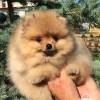 Pets  - Show Quality Orange Pomeranian Boy
