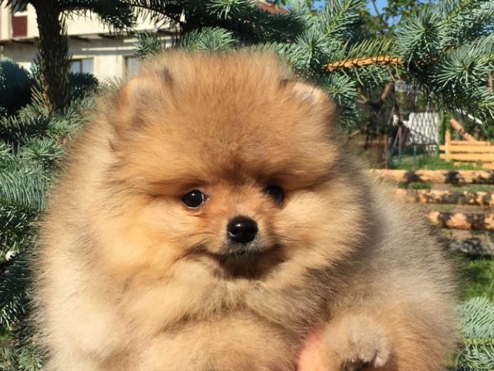 Show Quality Orange Pomeranian Boy