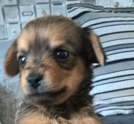 Pets  - Chorkie Puppies for sale