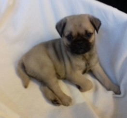 Pets  - Jug puppies for sale