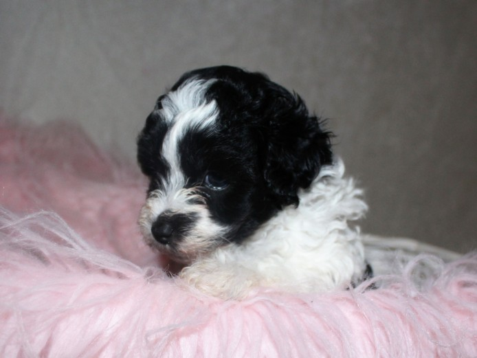 Schnoodle Pups. Poodle X Schnauzer Pups READY NOW