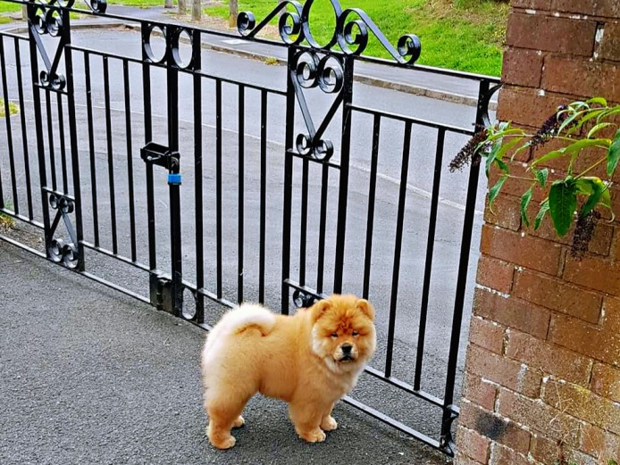 Kc register chow chow puppy