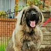 Pets  - Imported Caucasian Mountain Dog - Female for Sale