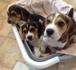 Pets  - Stunning KC Beagle Puppies