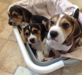 Stunning KC Beagle Puppies