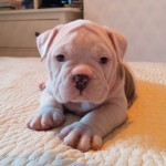 Old English bulldog puppies, from show winning parents.